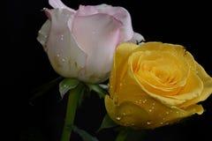 Very pretty white rose in the sunshine stock photo