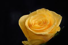 Very pretty white rose in the sunshine royalty free stock images