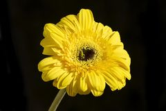 Very pretty yellow gerber close up in the sunshine Royalty Free Stock Images