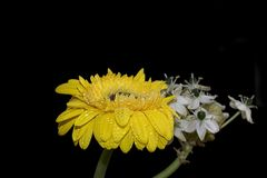 Very pretty yellow gerber with the white flowers close up Royalty Free Stock Photography
