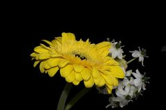 Very pretty yellow gerber with the white flowers  close up Royalty Free Stock Photo