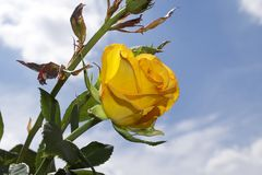 Very pretty yellow rose close up in the sunshine Royalty Free Stock Images