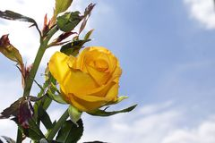 Very pretty yellow rose close up in the sunshine Royalty Free Stock Photo