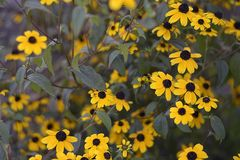 Beautiful yellowl summer flowers close up in my garden Royalty Free Stock Image