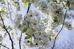 Very prety fruits tree blossoms in the sunshine. Very pretty fruits tree blossoms in my garden in the sunshine at my home Stock Photos