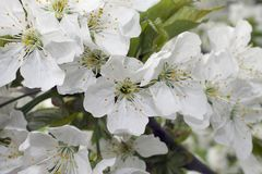 Very prety fruits tree blossoms in the sunshine. Very pretty fruits tree blossoms in my garden in the sunshine at my home Stock Photo
