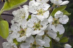 Very prety fruits tree blossoms in the sunshine. Very pretty fruits tree blossoms in my garden in the sunshine at my home Stock Photography