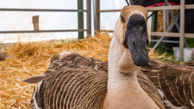Very rare African goose resting on straw Stock Images