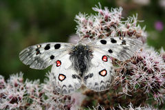 The very rare apollo butterfly. Very rare apollo butterfly lives in the Alps and is a protected butterfly's kind royalty free stock image