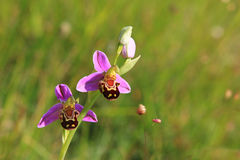 Very rare bee orchid ophrys apifera, soft background Royalty Free Stock Photography