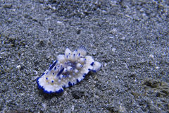 Very rare blue and white nudibranch, Sogod Bay, Padre Burgos, Leyte, Philippines, Asia Stock Photography