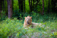 The very rare and endangered species of Asiatic Lion. Royalty Free Stock Image