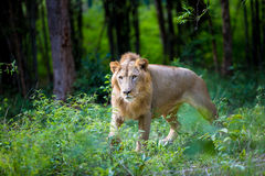 The very rare and endangered species of Asiatic Lion. Stock Photography
