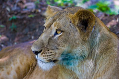 The very rare and endangered species of Asiatic Lion. Stock Image