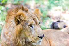 The very rare and endangered species of Asiatic Lion. Royalty Free Stock Photo