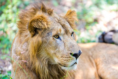 The very rare and endangered species of Asiatic Lion. Stock Images
