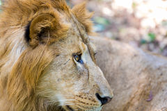 The very rare and endangered species of Asiatic Lion. Royalty Free Stock Photography