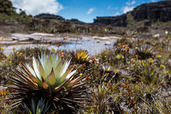 A very rare endemic plants on the plateau of Roraima - Venezuela Stock Photography