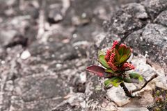 A very rare endemic plants on the plateau of Roraima - Venezuela Royalty Free Stock Images
