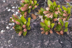 A very rare endemic plants on the plateau of Roraima - Venezuela Royalty Free Stock Image