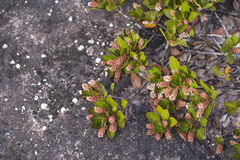 A very rare endemic plants on the plateau of Roraima - Venezuela Royalty Free Stock Photos