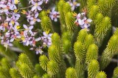 A very rare endemic plants on the plateau of Roraima - Venezuela.  stock photography