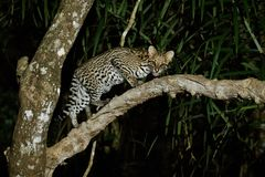 Very rare ocelot in the night of brazilian jungle. Endangered and nocturnal species, leopardus pardalis in latin, wild animal in the nature habitat. Beautiful royalty free stock photos