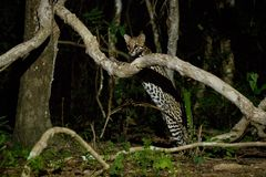 Very rare ocelot in the night of brazilian jungle. Endangered and nocturnal species, leopardus pardalis in latin, wild animal in the nature habitat. Beautiful royalty free stock image