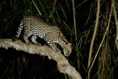 Very rare ocelot in the night of brazilian jungle. Endangered and nocturnal species, leopardus pardalis in latin, wild animal in the nature habitat. Beautiful royalty free stock photo