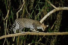 Very rare ocelot in the night of brazilian jungle. Endangered and nocturnal species, leopardus pardalis in latin, wild animal in the nature habitat. Beautiful stock images