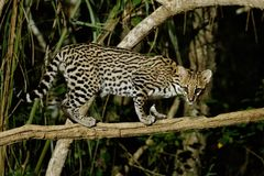 Very rare ocelot in the night of brazilian jungle. Endangered and nocturnal species, leopardus pardalis in latin, wild animal in the nature habitat. Beautiful stock photography