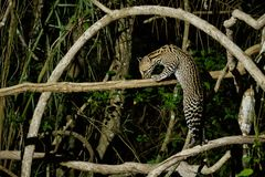 Very rare ocelot in the night of brazilian jungle. Endangered and nocturnal species, leopardus pardalis in latin, wild animal in the nature habitat. Beautiful royalty free stock photography