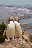 Very rare pair of Yellow-Eyed Pengui, Megadyptes antipodes Royalty Free Stock Photography