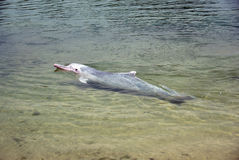 Very rare pink dolphin Stock Image