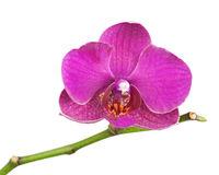 Very rare purple orchid isolated on white background. Royalty Free Stock Images
