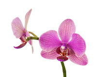 Very rare purple orchid isolated on white background. Royalty Free Stock Photos