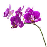Very Rare Purple Orchid Isolated on White Background. Stock Photo