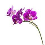 Very Rare Purple Orchid Isolated on White Background. Royalty Free Stock Photography