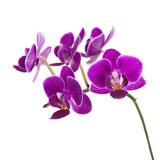 Very Rare Purple Orchid Isolated on White Background. Stock Images