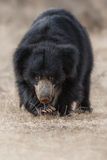 Very rare sloth bear male search for termites in indian forest Stock Photos