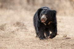 Very rare sloth bear male search for termites in indian forest