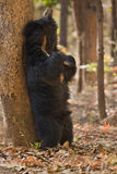 Very rare sloth bear male search for termites in indian forest Stock Images