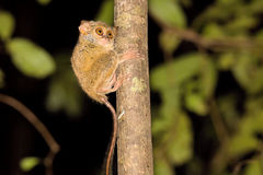 Very rare Spectral Tarsier, Tarsius spectrum,Tangkoko National Park, Sulawesi, Indonesia Royalty Free Stock Photos