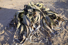Very rare Welwitschia mirabilis, Central Namibia Stock Photos