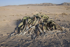 Very rare Welwitschia mirabilis, Central Namibia Stock Photography