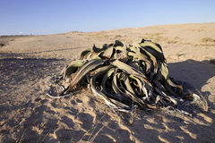 Very rare Welwitschia mirabilis, Central Namibia Stock Photo