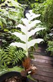 The very rare white leaf of basket fern. Stock Photo
