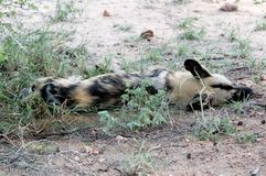 Very rare wild dog sleeping on the wild stock photo