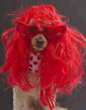 Very Red Dog Royalty Free Stock Image