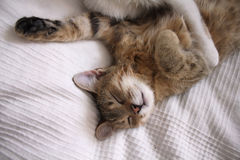 Relaxed sleeping cat Stock Photography